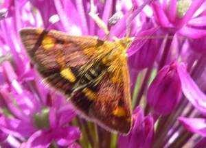 Moth on allium