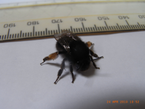 Small black bumble (?) bee