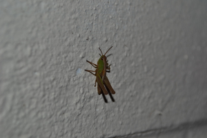 Meadow Grasshopper?