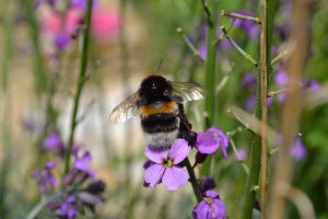 White-tailed bumblebee