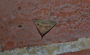 Is this The Snout moth?