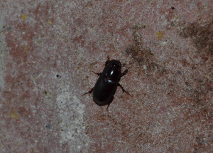 which Dung Beetle is this?