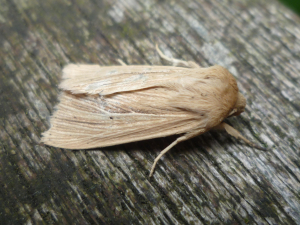 Common Wainscot?