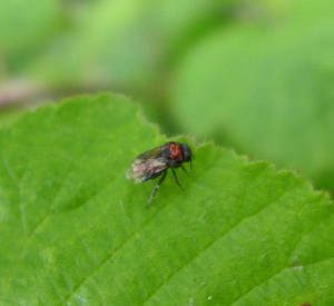 Insect on bramble