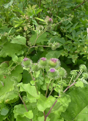 Greater Burdock (with Lesser Burdock)