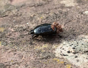 Beetle with mites