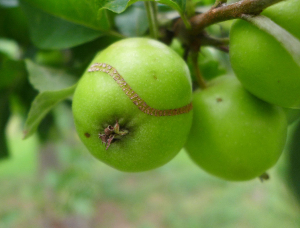 Damage to apple by Apple Sawfly?