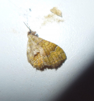Moth remains - Yellow Shell
