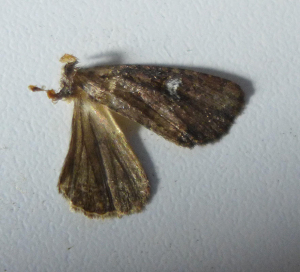 Moth remains - Common Rustic