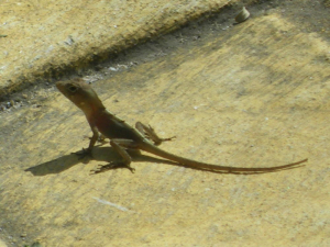 Large-headed Anole - Dominican Republic