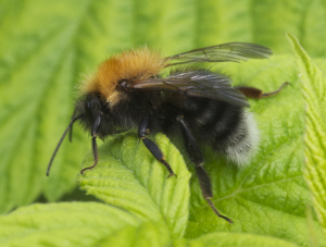 Bombus hypnorum, male