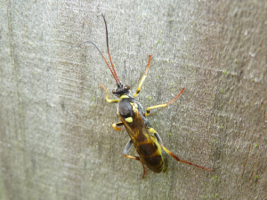 Large yellow-and-black ichneumon wasp
