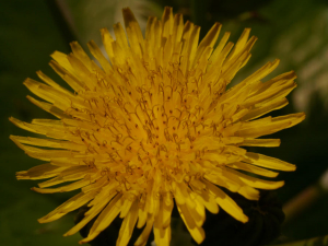 Common Sow-Thistle
