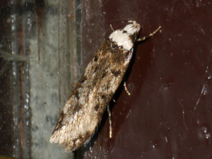 White-shouldered House-moth