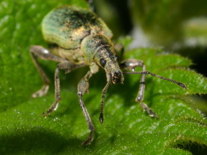 Large Weevil