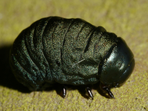 Bloody-Nosed Beetle - grub