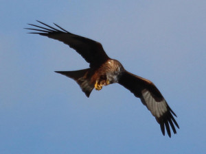 Red Kite (re-introduced)