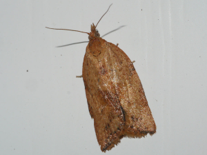 Light Brown Apple Moth - female