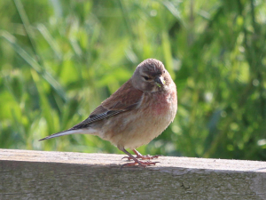 Linnet - male