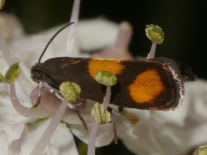 Orange-spot Piercer