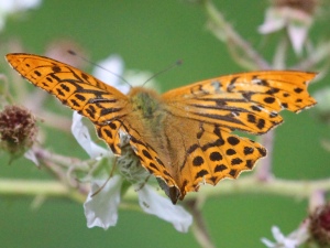 Silver-Washed Fritillary - male