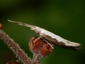Diamond-backed Moth