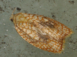 Acleris forsskaleana (deceased)