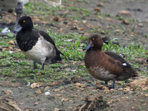 Tufted Duck - male and female