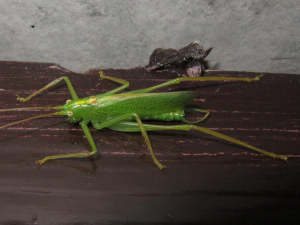 Oak Bush-cricket - male