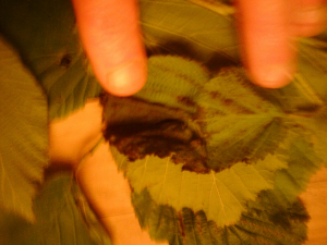 diseased cobnut leaves