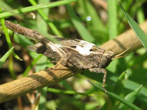 Slender Ground-hopper