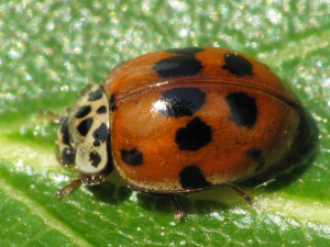 Heavily-marked 10-spot Ladybird