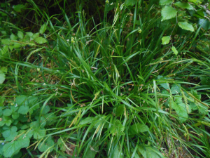 Wood Sedge