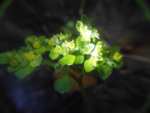 Opposite-leaved Golden-saxifrage