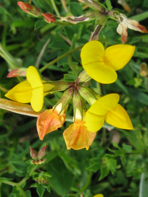 Blake Marsh, Kidderminster: Birdsfoot Trefoil