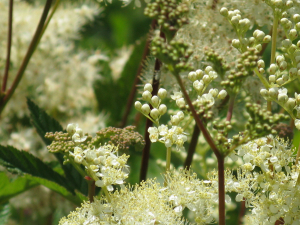 Blake Marsh, Kidderminster: Meadowsweet.