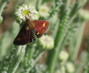 Moth with red wings