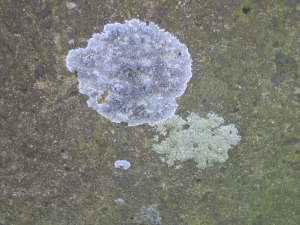 Lichens (2x different crustose)