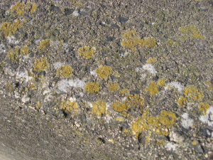 Yellow Foliose Lichen