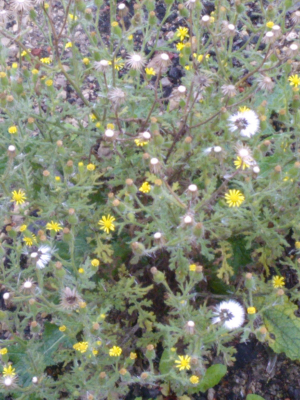 Sticky Groundsel, possible