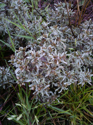 Cudweed, maybe Marsh