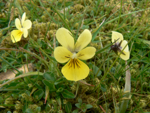 Mountain Pansy?