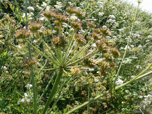 Hemlock Water-Dropwort