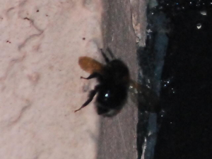CSC_1710_unidentified bee