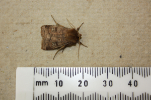 Noctuid moth, possibly a rustic