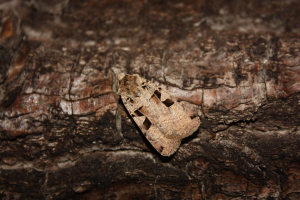 Another Xestia (Noctuid moth)