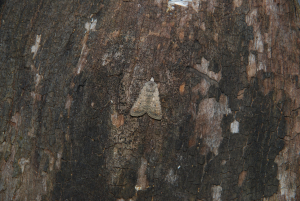 404 pale mottled willow 1