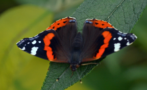 3009 red admiral