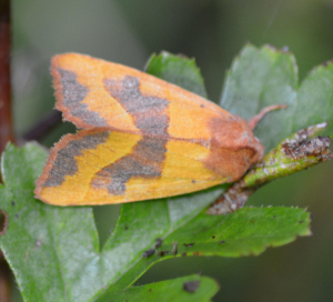 3018 centre barred sallow