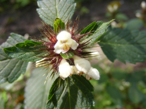 Hemp nettle or is it